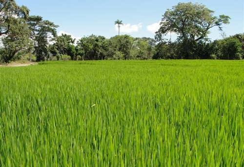 #3 Rice Farm Agriculture in La Vega