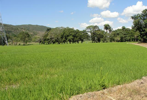 #9 Rice Farm Agriculture in La Vega
